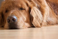 Sleepy dog Royalty Free Stock Photo