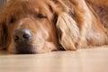 Sleepy dog laying ground Royalty Free Stock Image