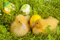 Sleepy easter ducklings Stock Photo
