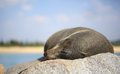 Sleepy fur seal lazing on a rock in the glorious sunshine seals are any of nine species of pinnipeds in the otariidae family Stock Image