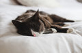 Sleepy grey, brown and white fluffy cat rests with eyes closed on bright white comfy bed Royalty Free Stock Photo