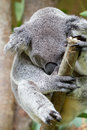 Sleepy koala bear sitting on a branch Royalty Free Stock Image