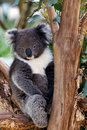 Sleepy koala bear in tree Royalty Free Stock Photography