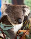 Sleepy Koala After Having Lunch