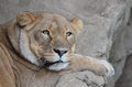 Sleepy lion a female rests on some rocks Royalty Free Stock Photos