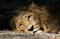Sleepy lion portrait of lying with head on side Royalty Free Stock Photo