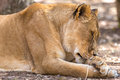 Sleepy lioness a closeup shot of a at a national park in south africa Royalty Free Stock Images