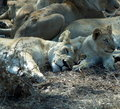 Sleepy lions Royalty Free Stock Images