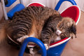 Sleepy Maine Coon Stock Images