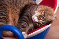 Sleepy Maine Coon Cat Stock Photo