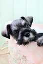 Sleepy mini schnauzer six week old salt and pepper falling asleep inside of a pink hat box Royalty Free Stock Photos