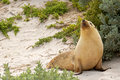Sleepy moment for Australian Sea Lion resting on warm sand at Se Royalty Free Stock Photo