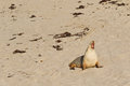 Sleepy moment for australian sea lion yawning with mouth opened on sand at seal bay colony on south coast of kangaroo Stock Images