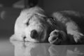 Sleepy puppy under candle light in black and white colors Royalty Free Stock Photography