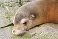 Sleepy sea lion lazy sleeping and wallowing on a rock Royalty Free Stock Photo