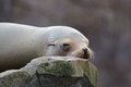 Sleepy sea lion lazy sleeping and wallowing on a rock Stock Image