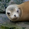 Sleepy sea lion lazy sleeping and wallowing on a rock Royalty Free Stock Image