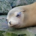 Sleepy sea lion lazy sleeping and wallowing on a rock Stock Photos
