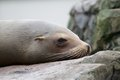 Sleepy sea lion lazy sleeping and wallowing on a rock Royalty Free Stock Photography