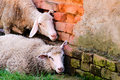 Sleepy sheeps Stock Photography