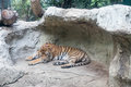 A sleepy tiger Royalty Free Stock Photo