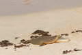 Sleepy time for Australian Sea Lion resting on warm sand at Seal Royalty Free Stock Photo