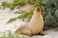 Sleepy time for australian sea lion yawning with mouth opened on sand at seal bay colony south coast of kangaroo Stock Photos