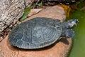 Sleepy Turtle Stock Photography