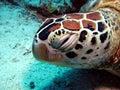 Sleepy turtle green hawksbill resting underwater Royalty Free Stock Image