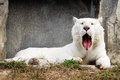 Sleepy white tiger portrait Royalty Free Stock Photo