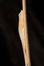 Slender anol anole anolis gadovii on a stick drake bay costa rica Royalty Free Stock Image