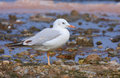 Slender-billed gull Stock Photography