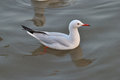 Slender billed gull the beautiful swiming at the shore Royalty Free Stock Images
