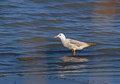 Slender billed gull chroicocephalus genei young resting on the beach Stock Photos