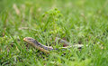 Slender glass lizard in the grass ophisaurus attenuatus sitting Stock Photos