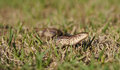 Slender glass lizard ophisaurus attenuatus portrait sitting in grass Stock Images
