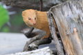 Slender mongoose behind the tree stub Royalty Free Stock Photo