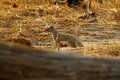 Slender mongoose the galerella sanguiea also known as the black tipped or black tailed Royalty Free Stock Image