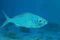 Slender silver biddy fish gerres oblongus in shallow waters of the indian ocean Royalty Free Stock Photo