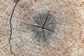 Slice from a fir tree of old wood texture. Royalty Free Stock Photo