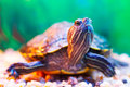 Slider turtle Stock Photography