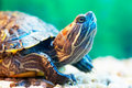 Slider turtle Royalty Free Stock Images
