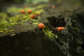 Slime mould lycogala epidendrum plasmodial also known as wolf s milk groening s on the tree stump macro foto selective focus Stock Photo