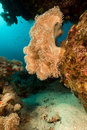 Slimy leather coral in the Red Sea. Royalty Free Stock Photo
