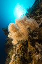 Slimy leather coral and tropical reef in the Red Sea. Stock Photography