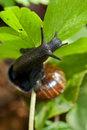 Slimy snail at a plant Royalty Free Stock Photo