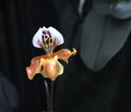 Slipper orchid in bloom multi coloured Royalty Free Stock Image