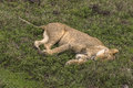 Slipping Lions Female