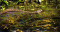 Slither a water snakes across the top of a stream Stock Photos