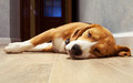 Sleeping beagle dog on the wood floor Royalty Free Stock Photo